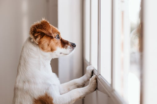 Close-up of a small jack russel terrier standing on two legs looking out of the window searching for its owner.